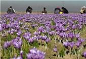 بنیاد برکت برای برندسازی زعفران در خراسان جنوبی سرمایهگذاری میکند