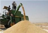 50 هزار تن گندم از کشاورزان سیستان و بلوچستان خریداری میشود