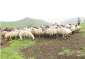 تخریب عرصههای طبیعی با چرای بیرویه دام؛ فرسایش خاک مراتع استان زنجان را تهدید میکند