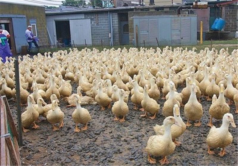 سود 30 درصدی پرورش اردک/ بسیج سازندگی 30 میلیون تومان وام میدهد
