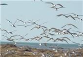 جزایر استان بوشهر کانون جوجهآوری پرندگان دریایی در خاورمیانه است