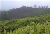 65 درصد بهای برگ سبز چای به چایکاران پرداخت شد