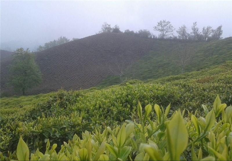 رئیس سازمان چای کشور: 18 میلیارد تومان تسهیلات کمبهره به فعالان حوزه چای پرداخت شد