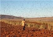 13 هزار هکتار زمین کشاورزی سیستان و بلوچستان علیه ملخ صحرایی سمپاشی شد