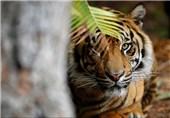 ببر باغ وحش فلوریدا یک زن را کشت