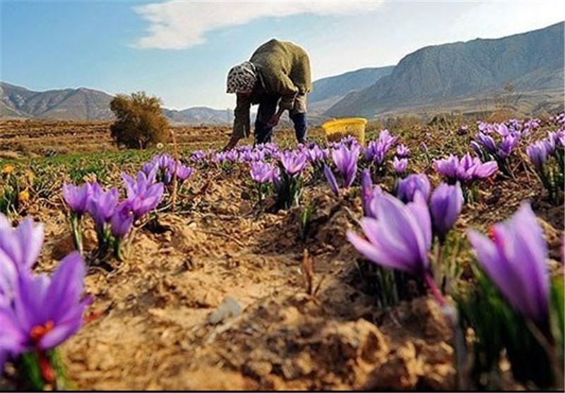 مشکلات کشت و بازار فروش زعفران برطرف میشود