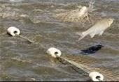 35 تن ماهی پرورشی در استخرهای استان بوشهر برداشت میشود
