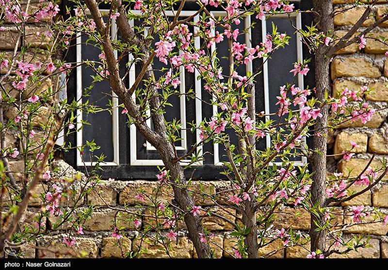 شکوفه های بهاری در ایلام