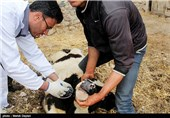 واکسینه کردن دامها در برابر تب برفکی - اهر