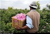 کرمان| اشتغالزایی 200 هزار نفر در فصل برداشت گل محمدی در لالهزار