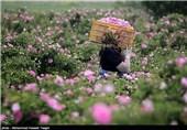 کاشت 15 درصد گل محمدی جهان در کرمان