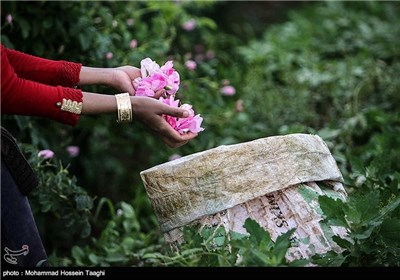 قطف الورد الجوری فی مشهد