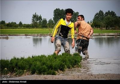 آخرین روزهای نشا کاری در مازندران