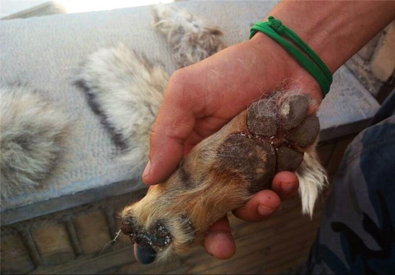 روباه تکه تکه شده در دست مهران چیلی