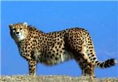 طرح تکثیر یوز خراسان شمالی بینتیجه ماند/ طرح تکثیر یوزپلنگ آسیایی با روش طبیعی انجام میشود