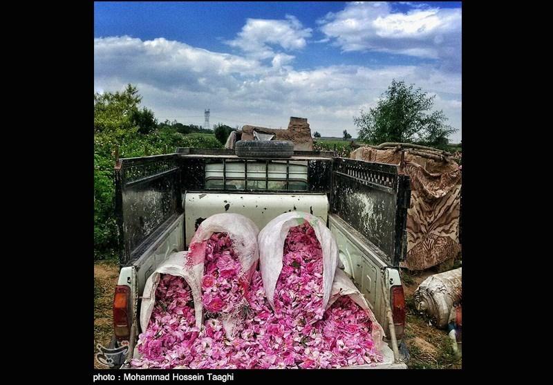 برداشت گل محمدی در مشهد