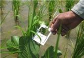 مبارزه بیولوژیک با آفات برنج در اراضی گیلان اجرایی میشود
