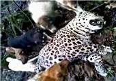 کشتار پلنگ توسط سگ های گله