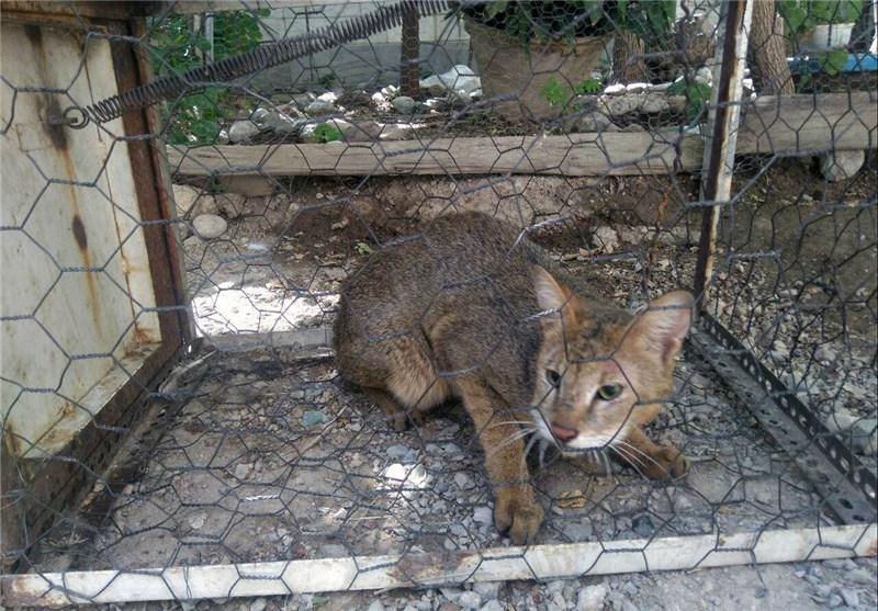 گربه جنگلی دیباجی