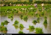 پایان فصل نشاکاری برنج در گرگان