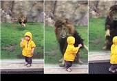 حمله شیر نر به یک کودک در باغوحشهای ژاپن+فیلم و عکس