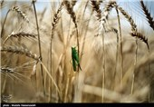 70 مرکز آماده خرید گندم از کشاورزان استان کرمانشاه هستند