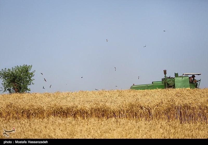 امسال نیازی به واردات گندم به کشور نداریم