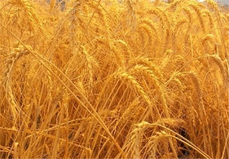 کیفیت 33 هزار تن بذر محصولات کشاورزی اردبیل تائید شد
