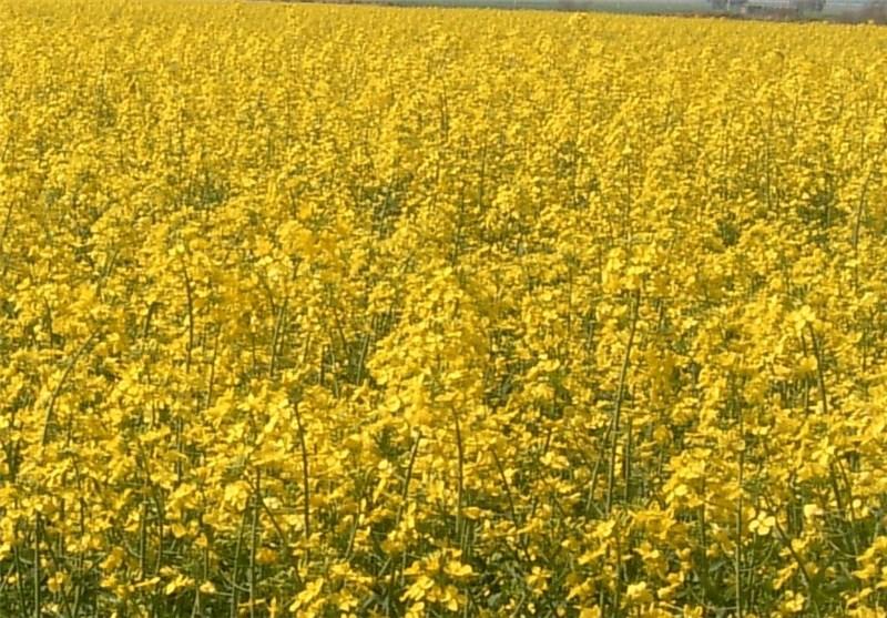 کشت کلزا در مزارع کشاورزی استان قزوین 3 برابر رشد داشته است