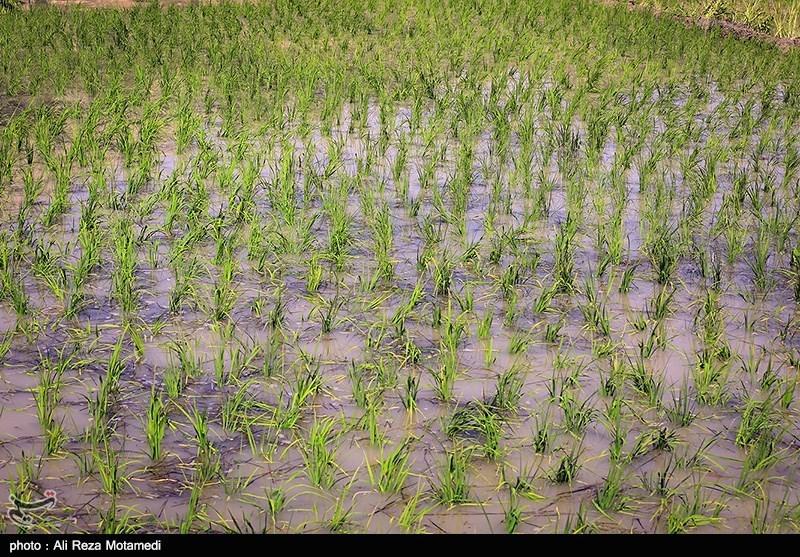 برنج کاری در منطقه سامان شهرکرد