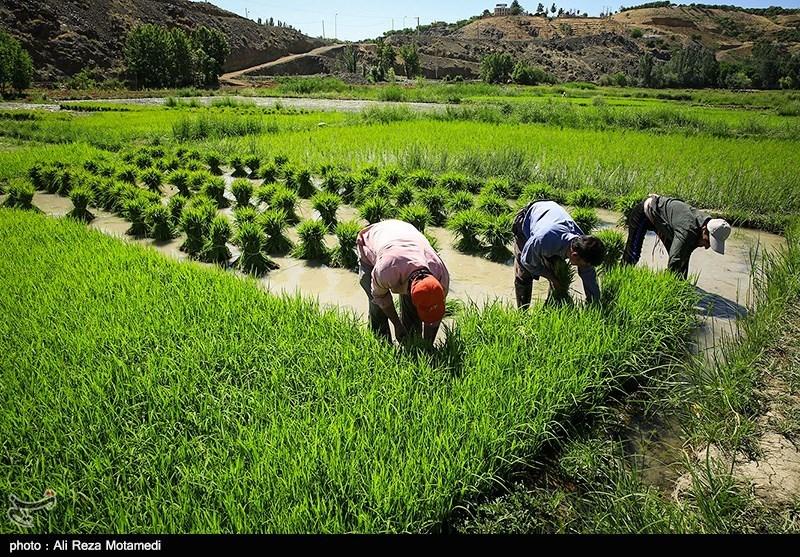 Risultati immagini per کشت برنج در خراسان شمالی