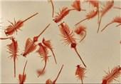 یک خبر خوب| تخم آرتمیای دریاچه ارومیه افزایش یافت
