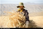 برداشت گندم در روستای چپانلو خراسان شمالی