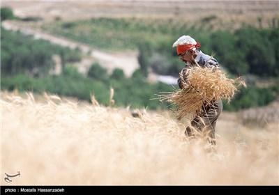 حصاد القمح في قرية جبانلو بمحافظة خراسان الشمالية