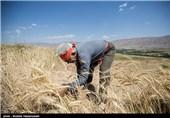 183 هزار تن گندم در شهرستان گنبدکاووس تولید شد