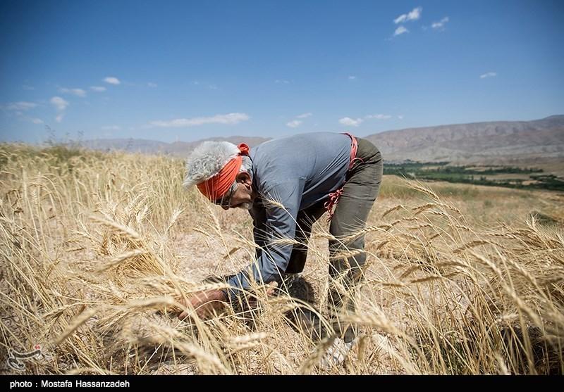 استان خراسان جنوبی برای دومین سال در تولید گندم خودکفا شد