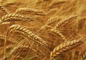 تولید گندم در شهرستان ماهنشان 50 درصد کاهش مییابد