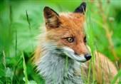 نجات جان روباه گرفتار شده در ظرف پلاستیکی توسط کوهنوردان بروجردی + فیلم