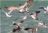 موردی مبنی بر آنفولانزای پرندگان در استان اردبیل مشاهده نشده است