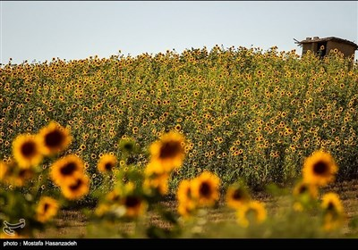 مزارع آفتابگردان در استان گلستان