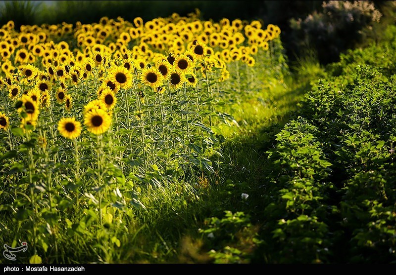 عکس مزارع آفتابگردان,عکس مزرعه آفتاب گردان,عکس های گل آفتاب گردان ,گل آفتابگردان