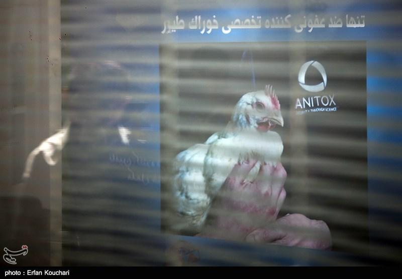مرغداران: دولت با اخلالگران توزیع خوراک طیور برخورد کند + سند
