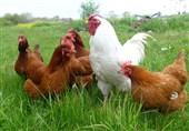 طرح ملی پرورش مرغ بومی خانگی در تعاونی های روستایی کشور اجرا میشود