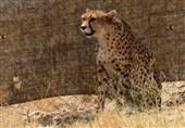 یزد | 11 گونه جانوری در حال انقراض کشور در استان یزد زیست میکنند