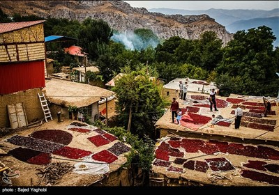 جشنواره برداشت زغال اخته در روستای هیر - قزوین
