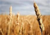 گندم خراسان رضوی با قیمت پایه 7100 ریال در بورس عرضه شد