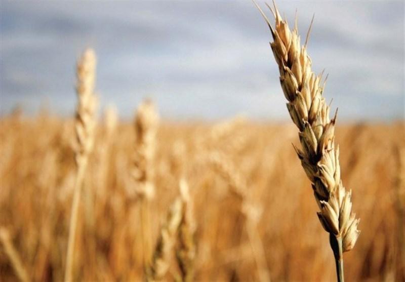 مبارزه علیه آفت سن گندم در سطح 20 هزار هکتار از مزارع جنوب کرمان انجام میشود