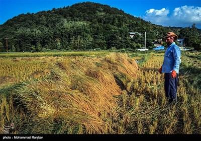 آخرین روزهای فصل برداشت برنج - گیلان