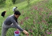 استان لرستان ظرفیت کشت بسیاری از گیاهان دارویی را دارد