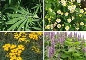 گیاهان دارویی لرستان1